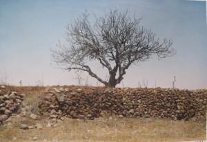 עץ תאנים 30 דקות אחרי נחיטת להקת הארבה לפי תיאור נשיונר  גיאוגרפיק