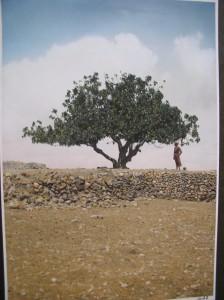 עץ תאנים לפני נחיטת להקת ארבה