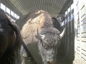 Kosher Buffalo Mesorah